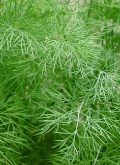 dill-1347095_640